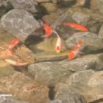 Vissen in de nieuwe vijver